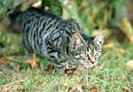 Sluipende kat