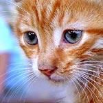 Snorharen bij de kat