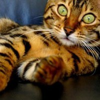 Kattenziekte