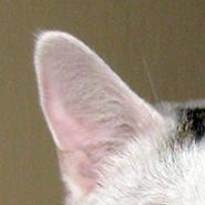 Oren van de kat