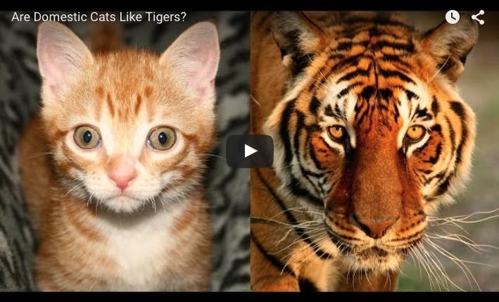 Het verschil tussen huiskatten en tijgers