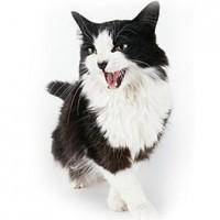 Kattentaal: miauwen