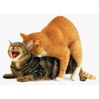 Krolse kat en seksueel gedrag