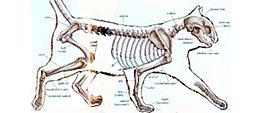 Illustratie van een kattenskelet