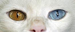 Witte kat met twee kleuren ogen