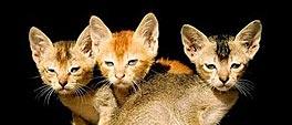 Drie Abessijnenkittens met grote oren