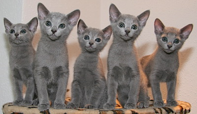 Blauwe Rus kittens - By ruskis (Own work) [CC BY-SA 3.0 (http://creativecommons.org/licenses/by-sa/3.0)], via Wikimedia Commons