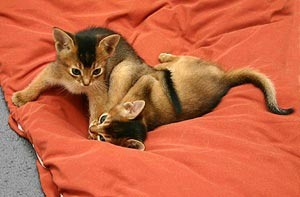 Spelende Abessijnen kittens (wildkleur) - foto: Dr. Gabriele Uelsberg und Joachim Berger-Uelsberg