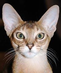 Close up vooraanzicht Abessijn (wildkleur) - foto: John Morton