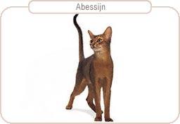 Kattenras Abessijn