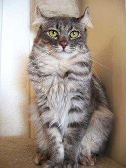 Kattenras: American Curl
