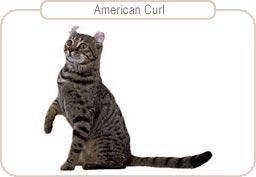 Kattenras American Curl