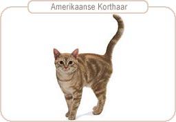Kattenras Amerikaanse Korthaar