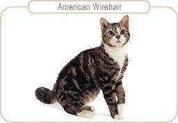 Kattenras American Wirehair