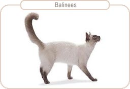 Kattenras Balinees