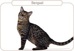 Kattenras Bengaal
