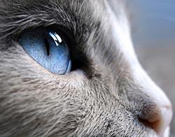 Blauw kattenoog