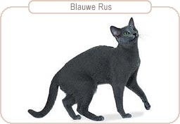 Kattenras Blauwe Rus