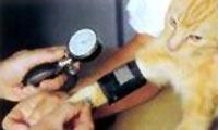 Bloeddrukmeting bij de kat