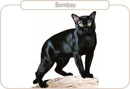 Kattenras Bombay