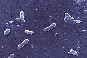 Bordetella bronchiseptica bacterie