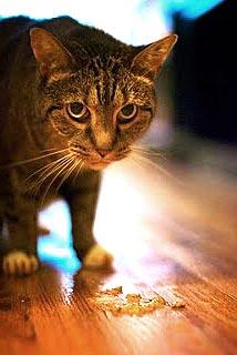 Overgevende kat