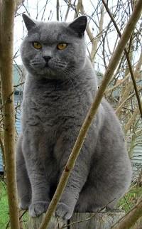 Brits korthaar - blauw