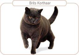 Kattenras Brits Korthaar