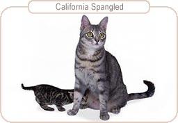Kattenras California Spangled
