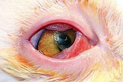 Conjunctivitis of oogslijmvliesontsteking bij de kat