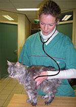 De dierenarts luistert naar het hart van de kat