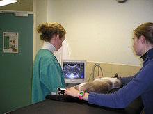 Het maken van een hartecho bij een kat