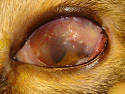 Hoornvliesproblemen: keratitis bij de kat