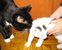Introduceren van een kitten bij de andere huisdieren