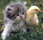 Interferon is diersoortspecifiek - kitten en kuiken
