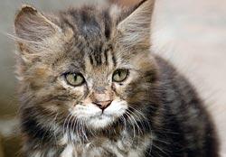 Kat met aids (FIV)