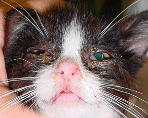 Kat met Feline chlamydiose