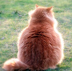Kat met overgewicht