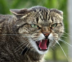 Kat met agressie