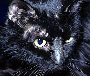 Kat met ringwormplekken op de kop