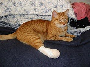 Kat met gespalkte achterpoot