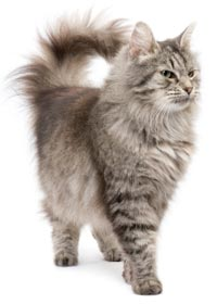 Langharige kat