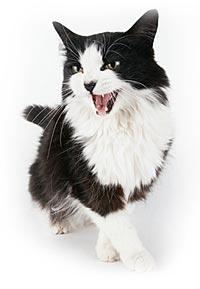 Langharige miauwende kat