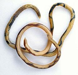Spoelworm/rondworm bij de kat