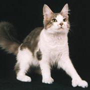 Maine Coon - Polydactyl