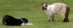 Vechtende katten