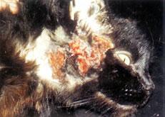 Kat met een huidaandoeningen: voedselallergie