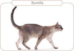 Kattenras Burmilla