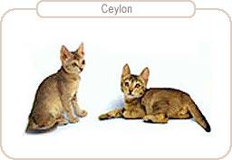 Kattenras Ceylon