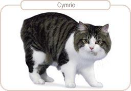 Kattenras Cymric